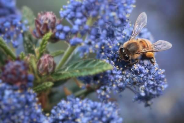 facts about bees, native bee species on purple blue flowers