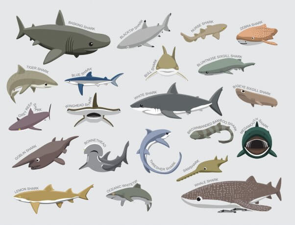 Are Sharks Fish or Mammals?