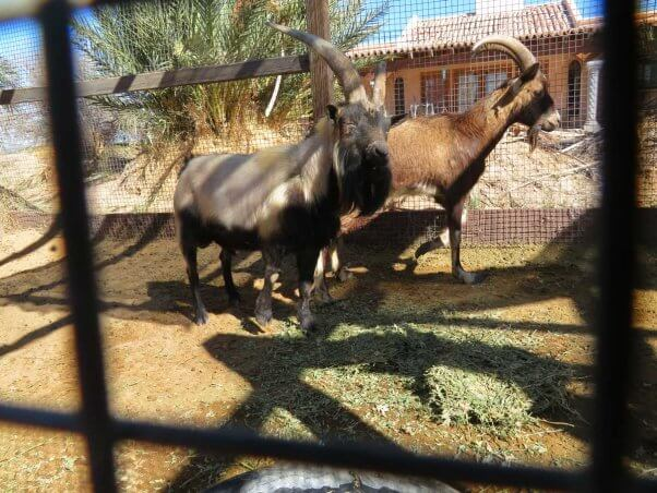 Thor, a goat, at The Camel Farm