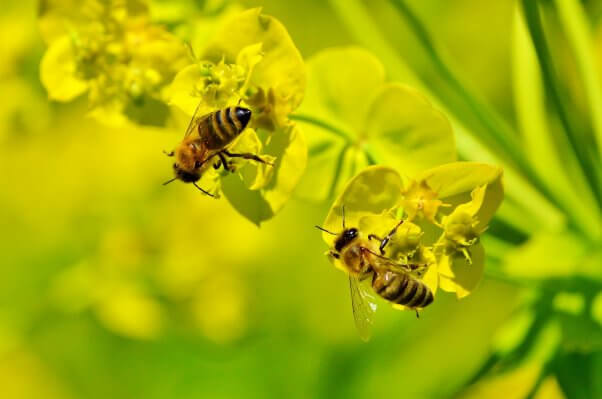 facts about bees two bees on yellow flowers