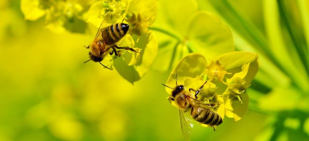 two bees on yellow flowers