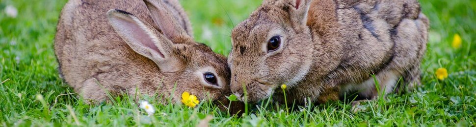 Two rabbit eat grass together