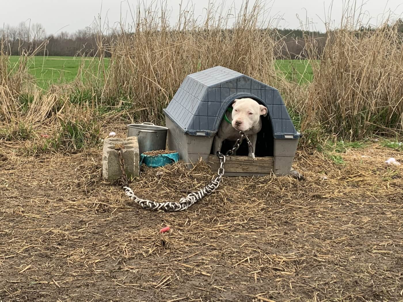 pitbull in plastic dog house with a very heavy looking metal chain