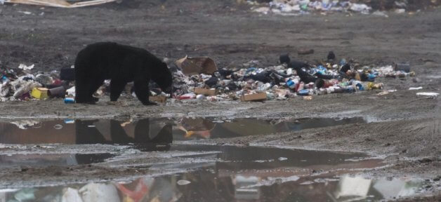 bear in garbage