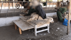 An alpaca is tied down to a board, crying out for help as a worker shears them