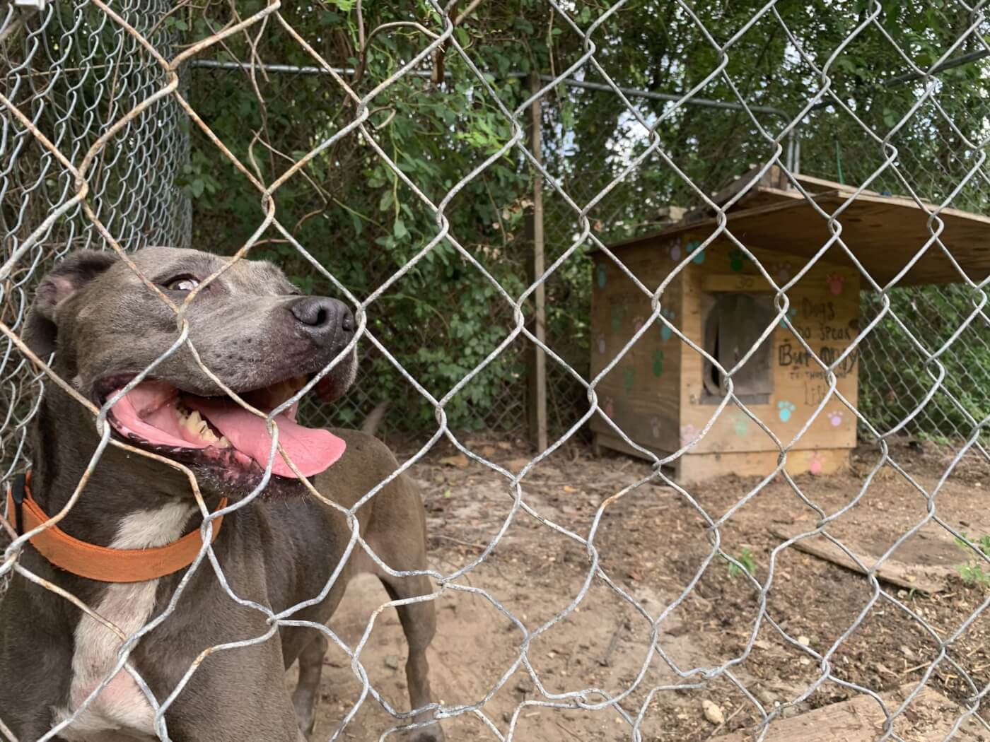 brown pit bull dog behind a fence