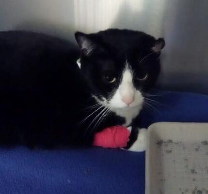 Rescued cat Oreo with bandaged paw