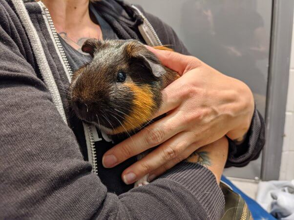 Tyrone the guinea pig in fieldworker's arms
