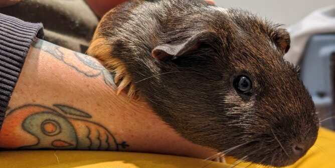 It Takes a Village to Save a Guinea Pig No Longer 'In the Navy'