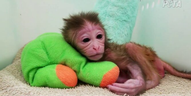 Urge Congress to Stop Wasting Tax Dollars on National Primate Research Centers