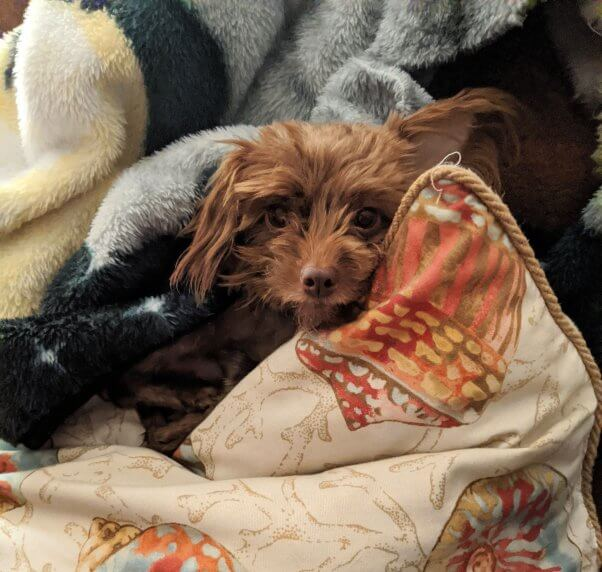 Rescued Yorkshire terrier Wiley snuggling up with a pillow