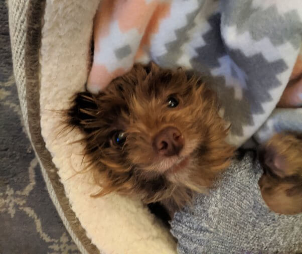 Rescued dog Wiley wearing a sweater and lying on blanket