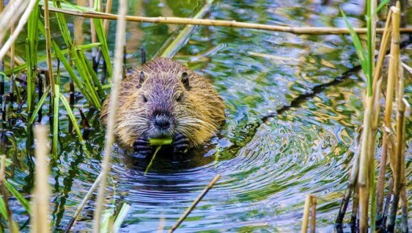 Urge City of Steilacoom, Washington, to Halt Beaver Trapping!