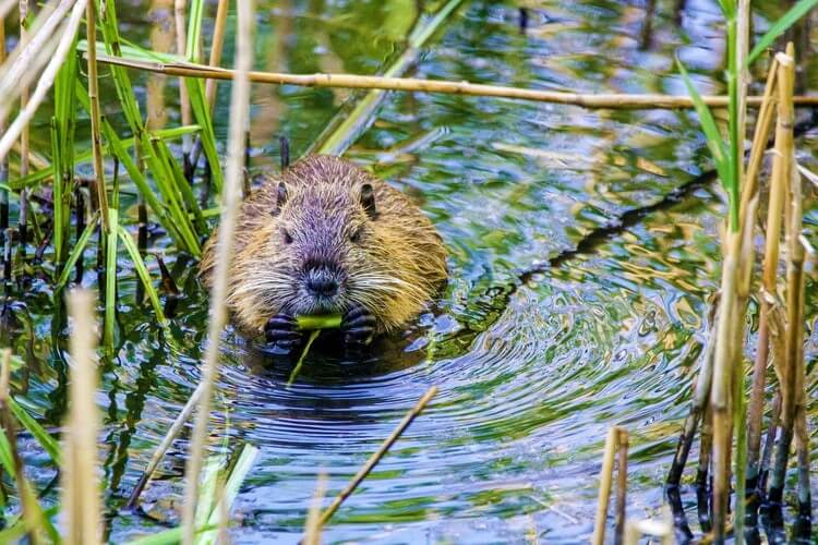 Beaver chews on reeds in the water