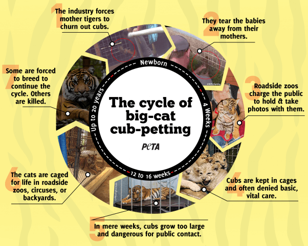 big cat cub petting cycle