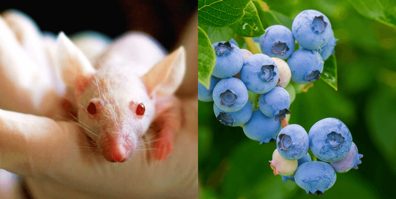 Mice in gloved hand (left), blueberries growing on green branch (right)