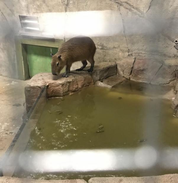capybara at SeaQuest aquarium