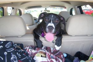 black and white dog in the back seat of a car
