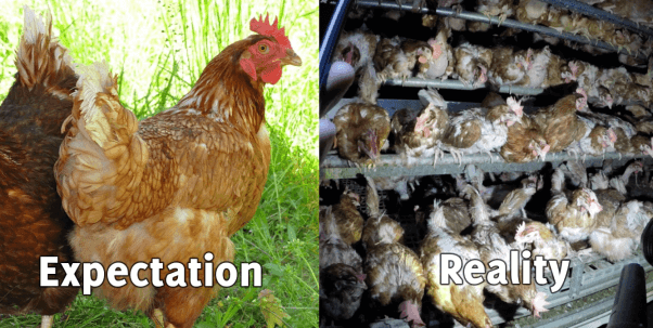 Cage free egg farm (right), hens in grass (left)