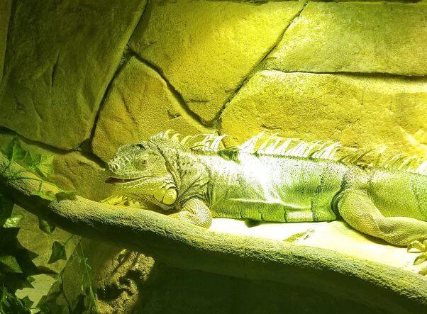 iguana in an enclosure at a SeaQuest aquarium