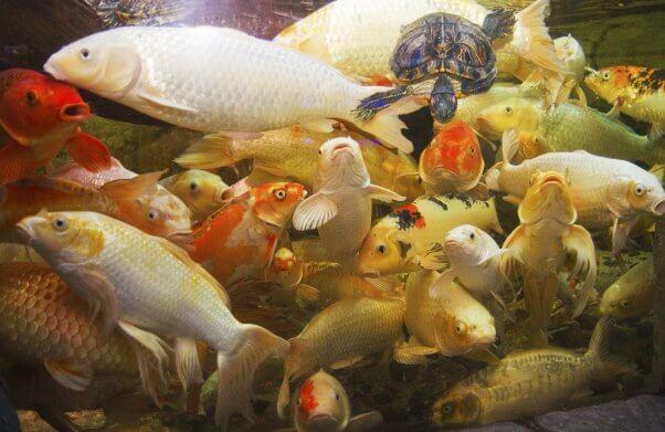 koi at a seaquest aquarium