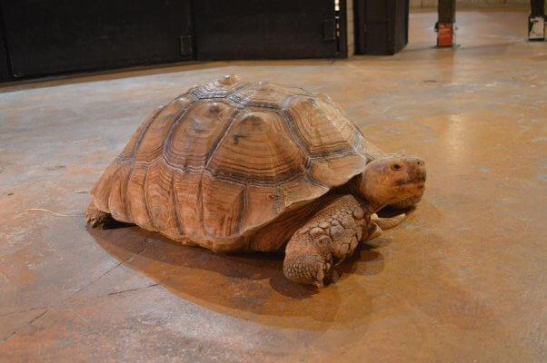 tortoise at a seaquest aquarium