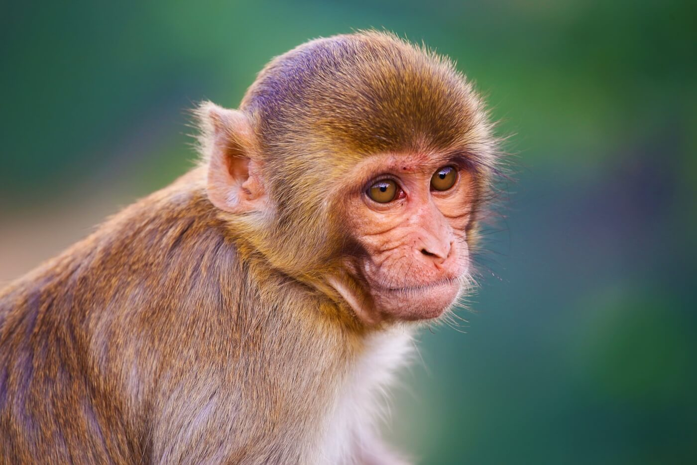 Rhesus macaque with blurry blue and green background