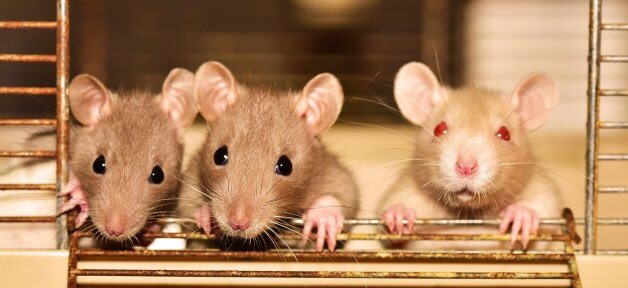 Three rats look out of cage