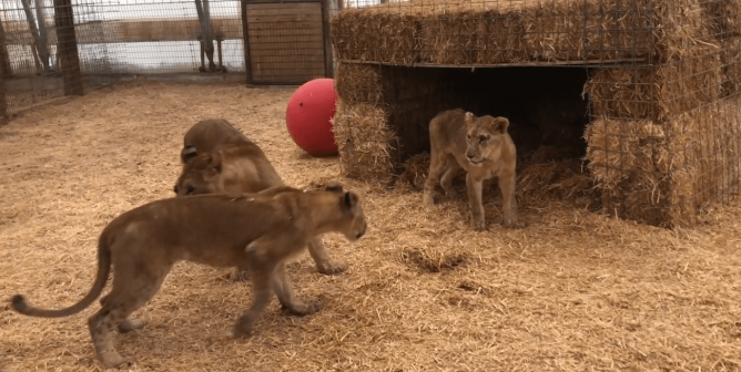 A Fresh Start: PETA Rescues Nala, Siblings From 'Tiger King' Hellhole