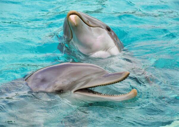 Two dolphins swim in bright blue water