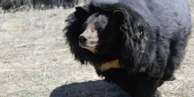 Dillan The Bear: Call for Charges in Bear-Neglect Case