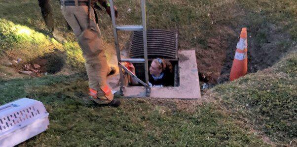 PETA fieldworker descending into sewer to rescue kitten