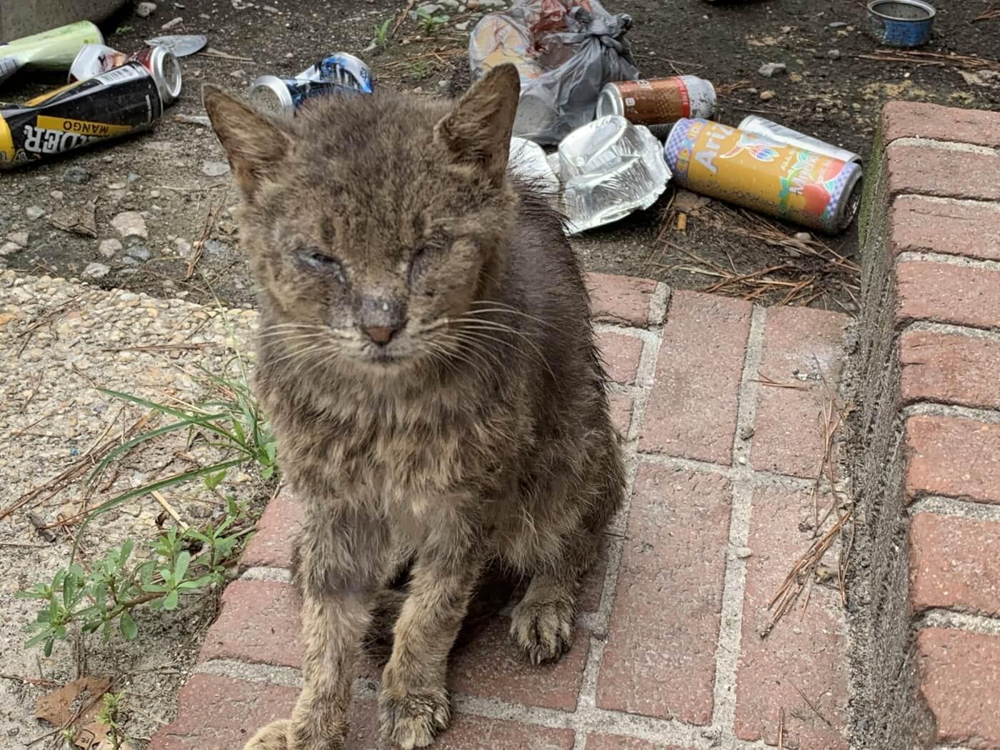 senior cat suffering before euthanasia