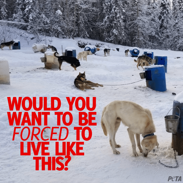 Dogs outside in the cold, on snow covered ground, chains to barrels at an outdoor kennel