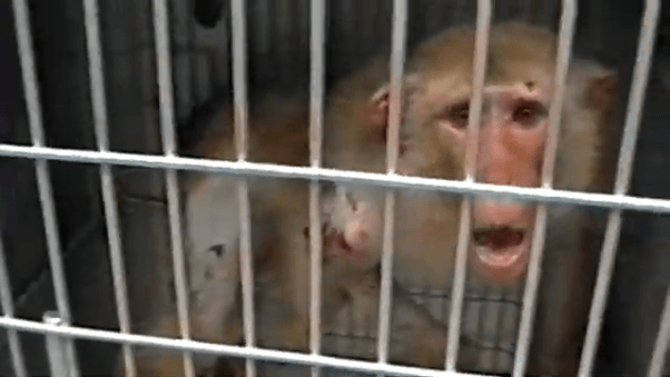 Injured monkey looks at camera and cries out