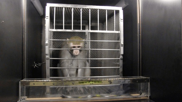 A monkey named Nurmi in a cage, being frightened by a faux snake