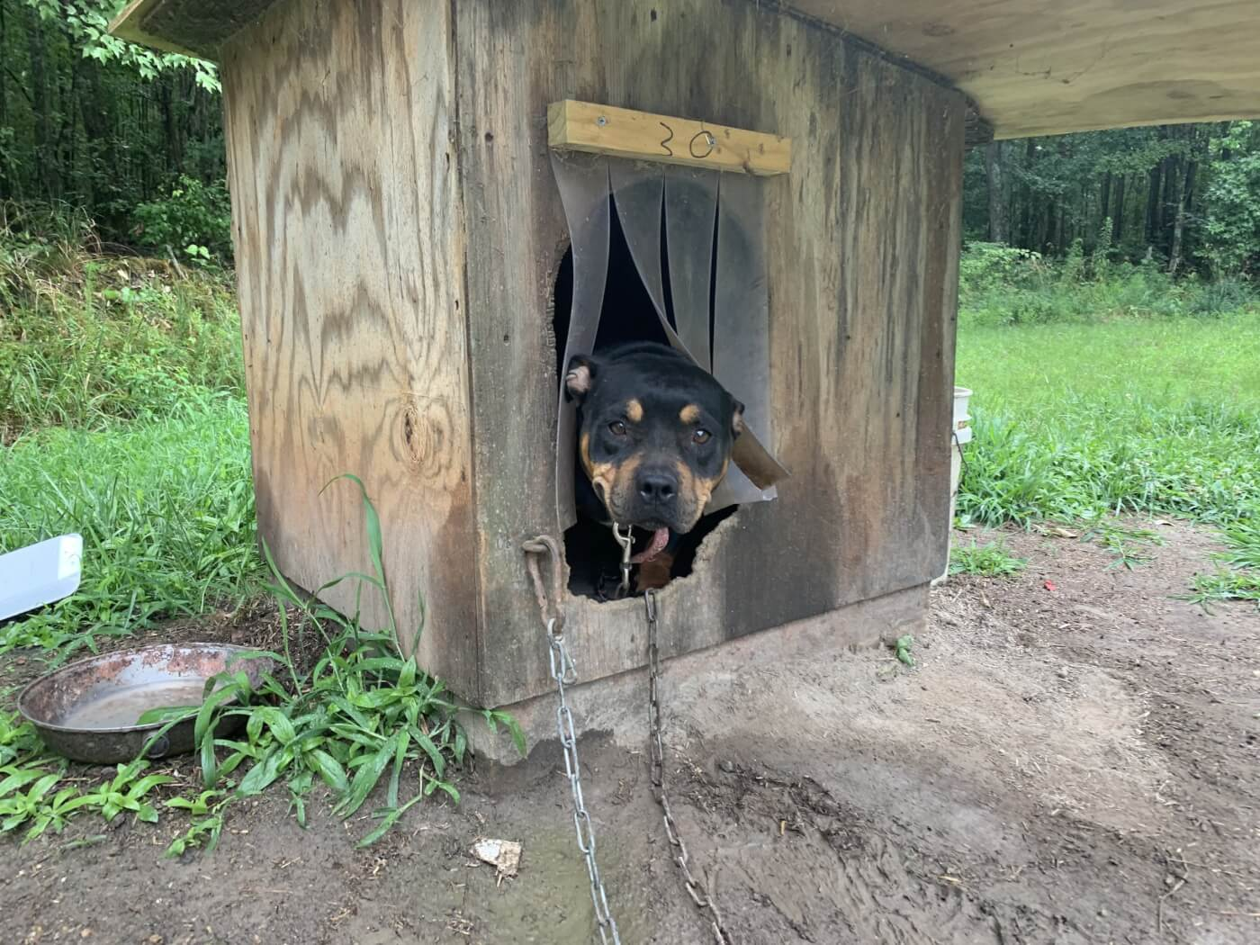 Cupcake the dog chained to a doghouse