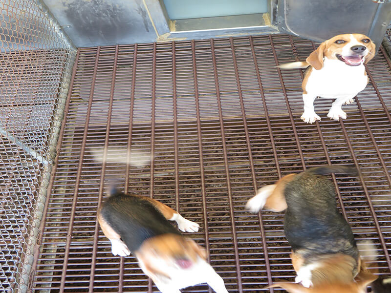 beagles in filthy cage