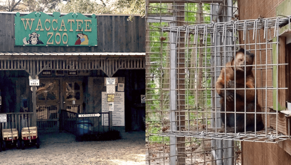 Help Animals Who Are Going Insane at Waccatee Zoo | Take Action Now!
