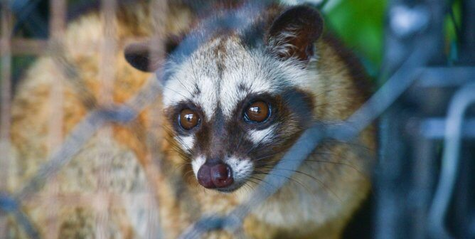 Civet Cats Suffer for Kopi Luwak Coffee—Urge Bacha Coffee to Act Now