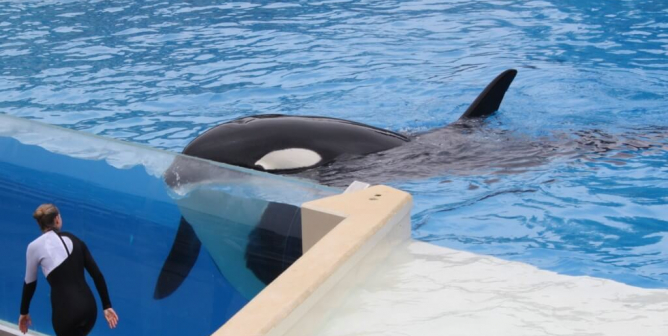 Did SeaWorld's Carelessness Kill Orca Amaya? 'It Could Have Been Avoided,' a Whistleblower Told PETA
