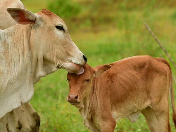 Mother licks baby cow in green field