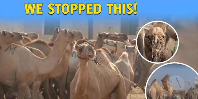Animal Rights, Not Rides! PETA Campaign Saves Horses and Camels at Giza Pyramids