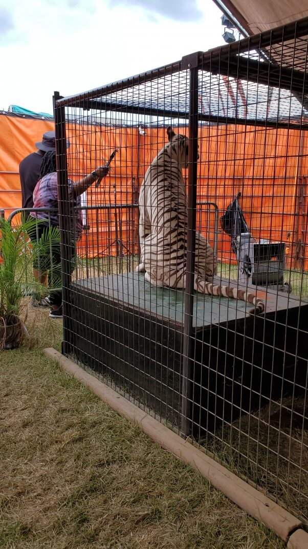 All Things Wild guests feeding tiger meat