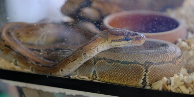 Brown snake curled up in small aquarium