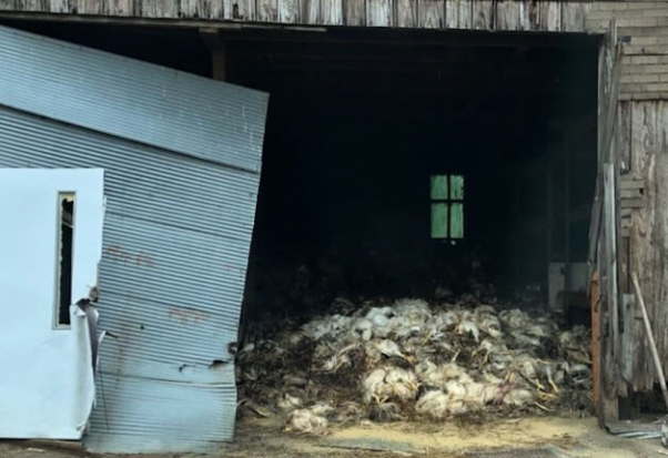 large pile of dead chickens in a shed