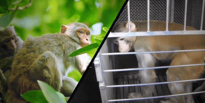 There's No Monkey Shortage for COVID-19 Experiments Because NO Monkeys Are Needed