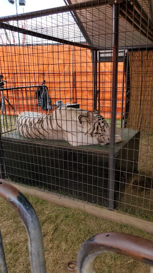 tiger sleeping in tiny, barren All Things Wild cage