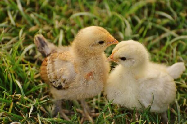 chicks in grass