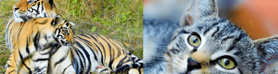 Tiger mom and cubs, animal companion cat on orange sofa